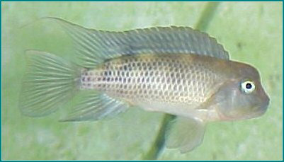 HUMPHEAD CICHLID - Click to enlarge