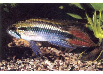 APISTOGRAMMA AGASSIZI DOUBLE RED - Click to enlarge