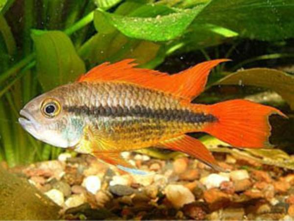 APISTOGRAMMA CACATUOIDES ORANGE - Click to enlarge