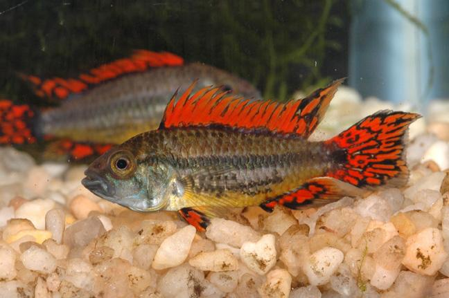 APISTOGRAMMA CACATUOIDES SUPER RED - Click to enlarge