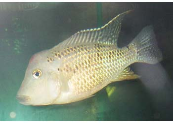 GEOPHAGUS STEINDACHNERI - RED HUMP - Click to enlarge