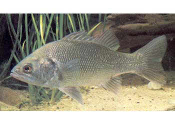 AUSTRALIAN BASS - Click to enlarge