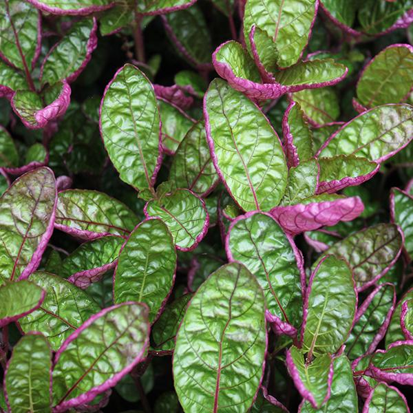 PURPLE WAFFLE - Click to enlarge