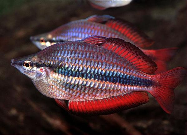 GOYDER RIVER BANDED RAINBOW - Click to enlarge