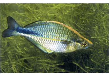 LAKE KUTUBU RAINBOW (M.LACUSTRIS) - Click to enlarge