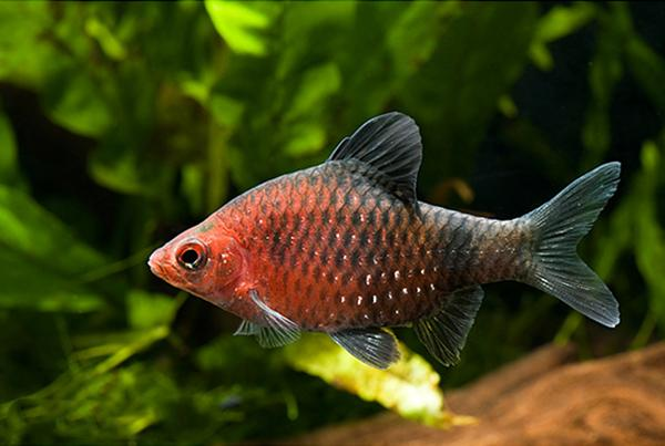 BLACK RUBY BARB - Click to enlarge