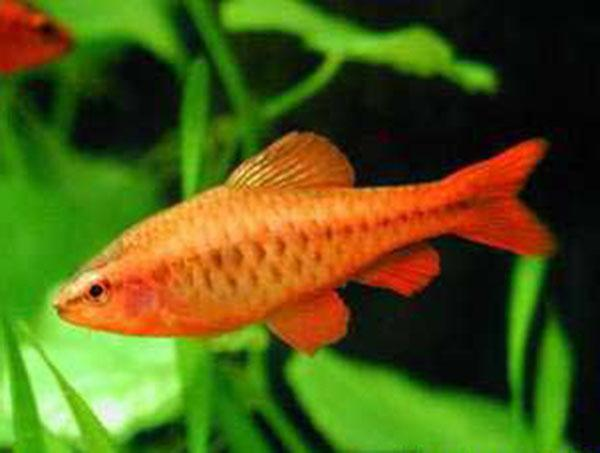 Cherry barb live fish barbs product detail premier for Cherry barb fish