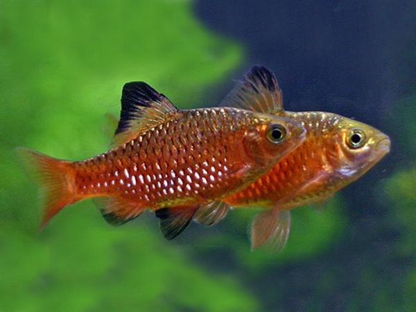 MALE ROSY BARB - LIVE FISH, BARBS - Product Detail - Premier Pet Pty ...