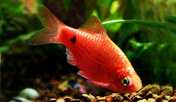 GLOWLIGHT CHILLI ROSY BARB - Click to enlarge
