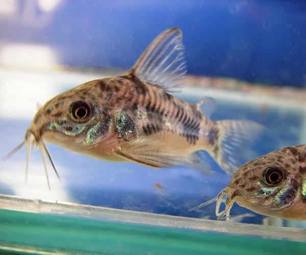 PEPPERED CORYDORAS - Click to enlarge