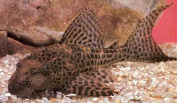 PLECOSTOMUS - Click to enlarge