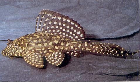 GOLD SPOTTED PLECOSTOMUS - Click to enlarge