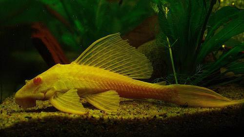 ALBINO SAILFIN PLECOSTOMUS - Click to enlarge