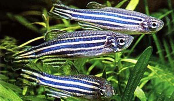 ZEBRA DANIO - Click to enlarge