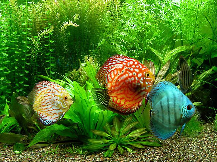 ASSORTED DISCUS - Click to enlarge