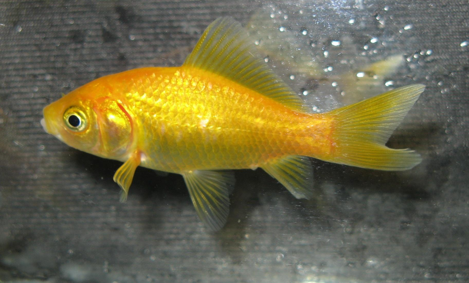 Goldfish fancy and such on pinterest goldfish for Fish for gold