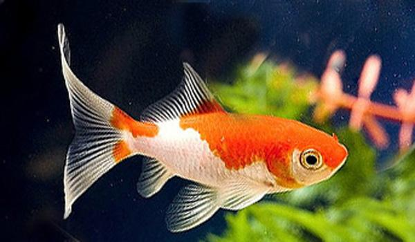 Red and white comet goldfish - photo#1