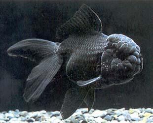 BLACK ORANDA - Click to enlarge