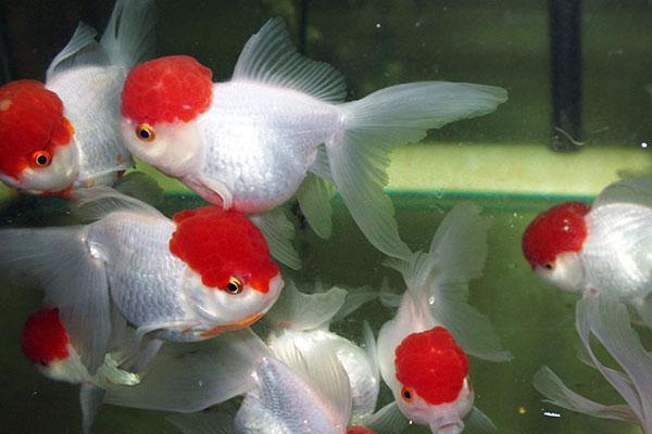 RED CAP ORANDA - LIVE FISH, GOLDFISH, ORANDA - Product ...  Red