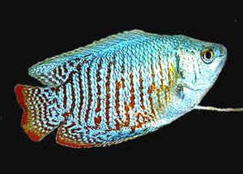 MALE NEON DWARF GOURAMI - Click to enlarge