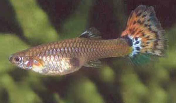 FEMALE GUPPY - Click to enlarge