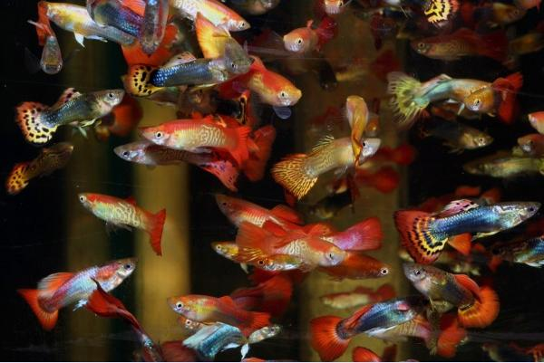 MALE ASSORTED GUPPY - Click to enlarge