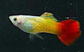 MALE FLAMETAIL GOLD SNAKESKIN GUPPY - Click to enlarge