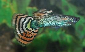 MALE LEOPARD SNAKESKIN GUPPY - Click to enlarge