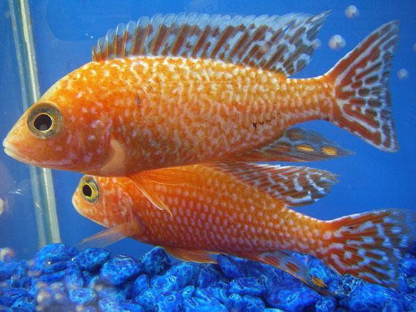 Mature dragon fish