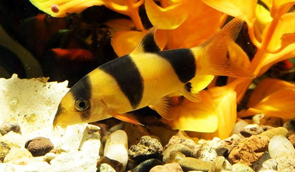 CLOWN LOACH - Click to enlarge