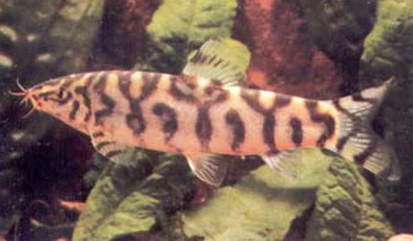 PAKISTANI LOACH - Click to enlarge