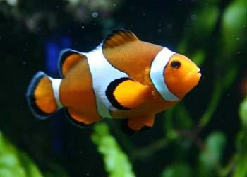 ORANGE OCELLARIS CLOWNFISH