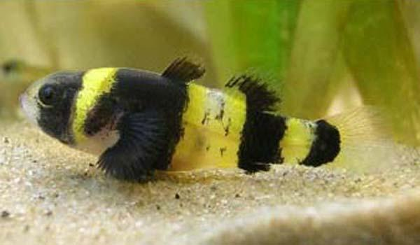 BUMBLE BEE GOBY - Click to enlarge