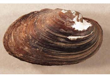 FRESHWATER MUSSEL - Click to enlarge