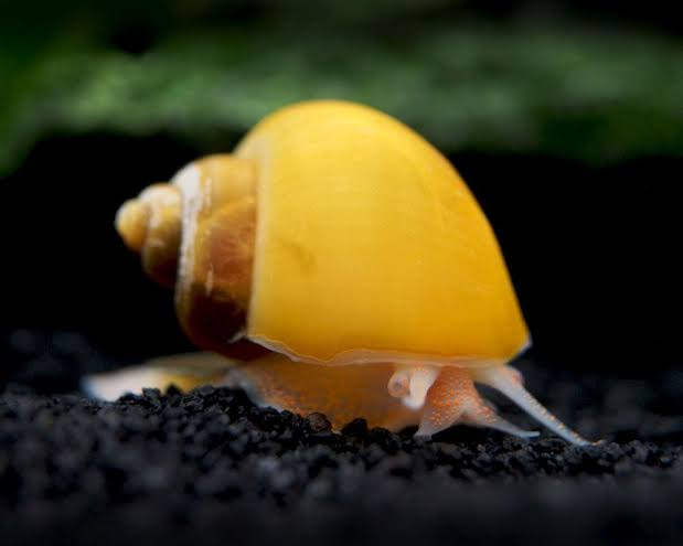 GOLD MYSTERY SNAIL LARGE - Click to enlarge