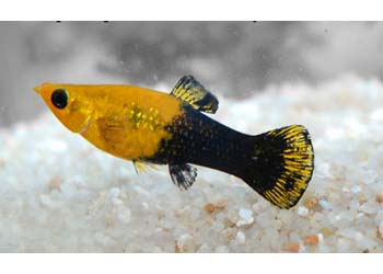 gold dust mini molly live fish mollies mini mollies product