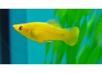 gold nugget mini molly live fish mollies mini mollies product