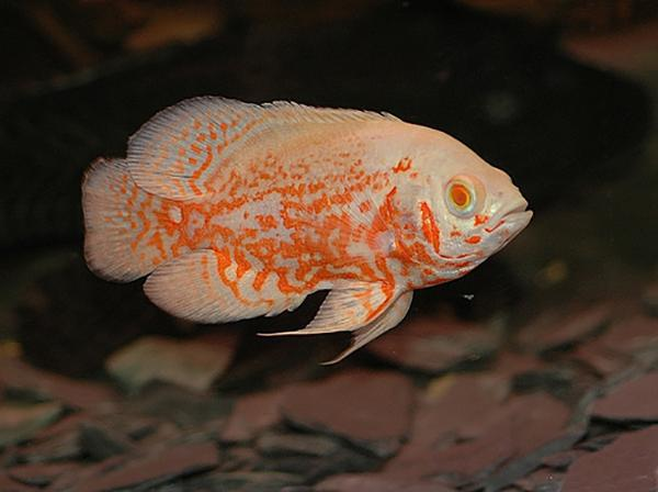 ALBINO RED TIGER OSCAR - Click to enlarge
