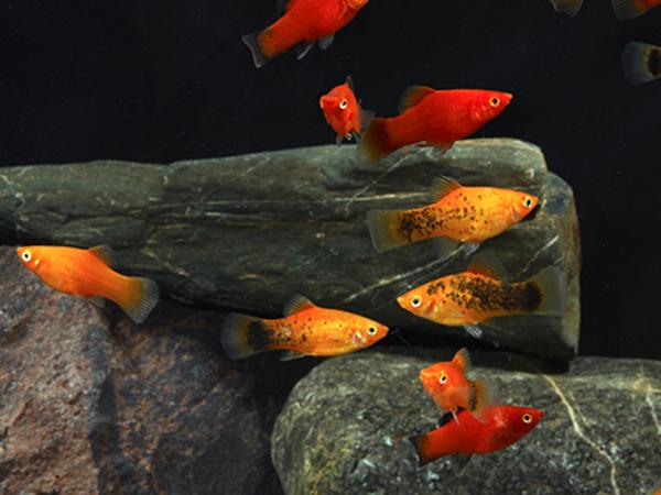 ASSORTED PLATY - Click to enlarge