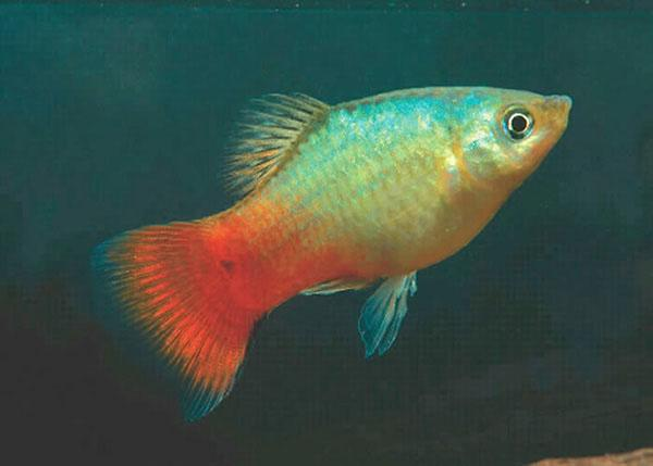 BLUE CORAL PLATY - Click to enlarge