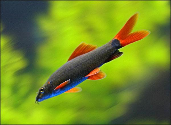 RAINBOW SHARK - Click to enlarge