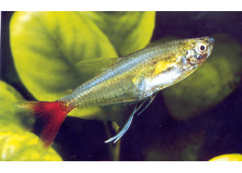 GLASS BLOODFIN TETRA - LIVE FISH, TETRAS & CHARACINS - Product Detail ...