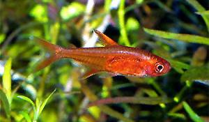 FIRE / EMBER TETRA - Click to enlarge