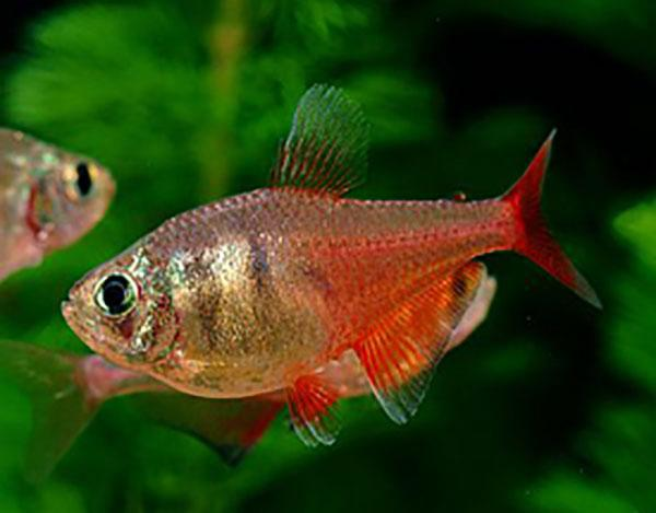 FLAME TETRA - Click to enlarge