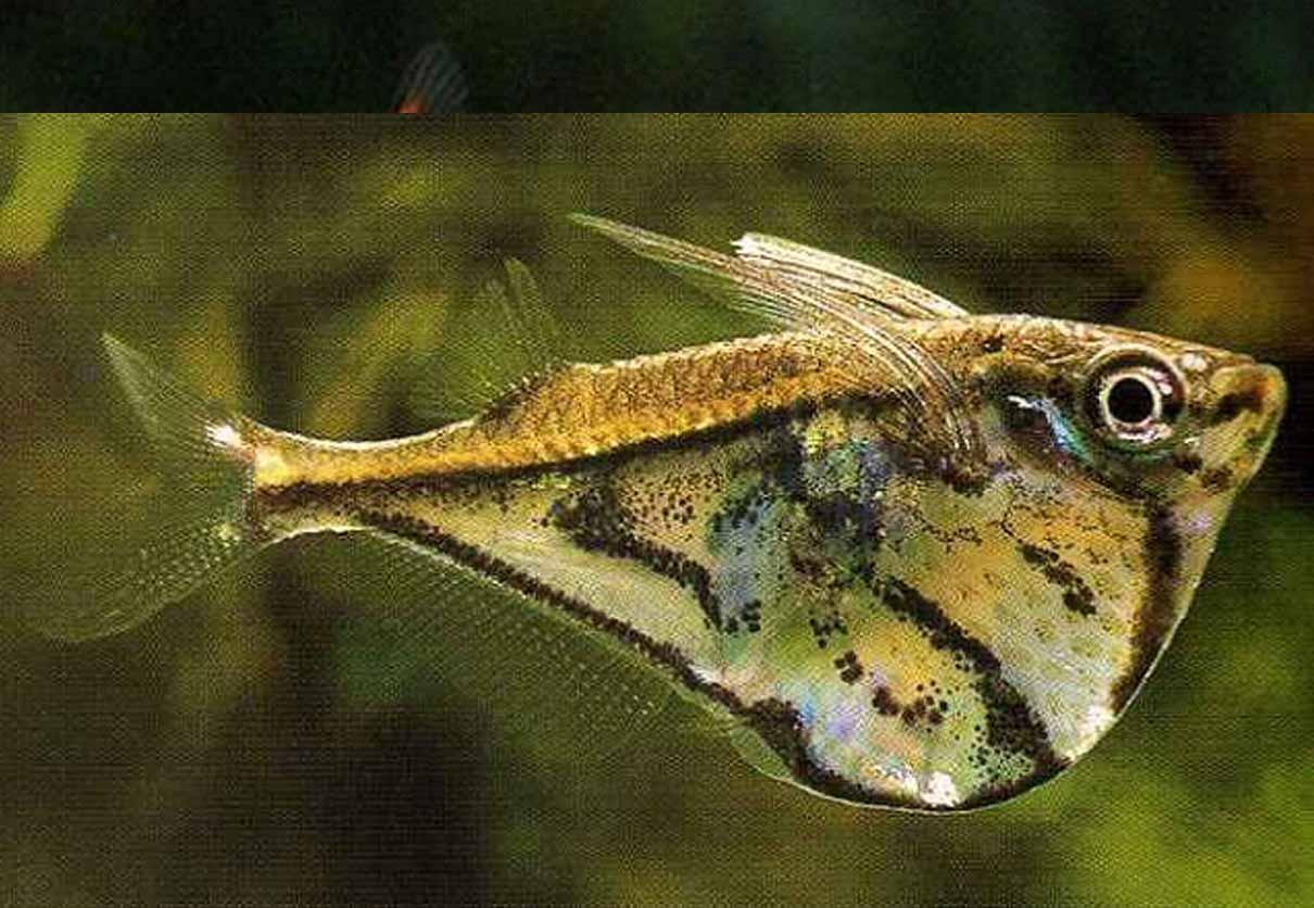 ... community fish mar marble hatchetfish living in aquaria habitat care