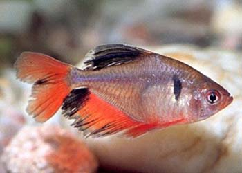 Longfin Serpae Tetra longfin serpae tetra - live fish, tetras ...
