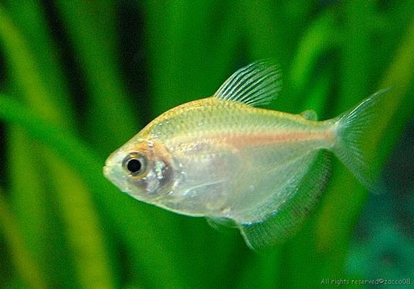 GOLD WIDOW TETRA - Click to enlarge