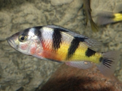 ASTATOTILAPIA LATIFASCIATA CRIMSON TIDE - Click for more info