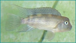 HUMPHEAD CICHLID - Click for more info