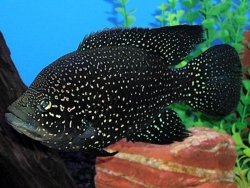 PARATILAPIA POLLENI - Click for more info
